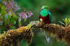 Όμορφο πουλί στον τροπικό βιότοπο φύσης Λαμπρό QUETZAL, mocinno Pharomachrus, Savegre στη Κόστα Ρίκα, με το πράσινο δάσος backg Στοκ εικόνα με δικαίωμα ελεύθερης χρήσης