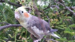 Όμορφο πουλί Cockatiel Στοκ Εικόνα
