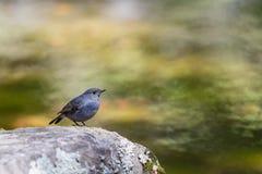 Όμορφο πουλί - Plumbeous συνεδρίαση νερού redstart σε έναν βράχο Στοκ Εικόνα