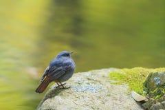 Όμορφο πουλί - Plumbeous συνεδρίαση νερού redstart σε έναν βράχο Στοκ Φωτογραφίες