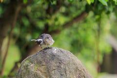 Όμορφο πουλί - Plumbeous συνεδρίαση νερού redstart σε έναν βράχο Στοκ φωτογραφία με δικαίωμα ελεύθερης χρήσης