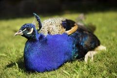 Όμορφο πολύχρωμο μπλε peacock που στηρίζεται σε μια πράσινη χλόη Στοκ εικόνες με δικαίωμα ελεύθερης χρήσης