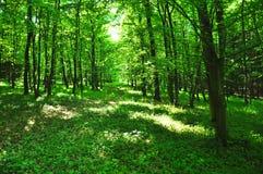 Όμορφο πράσινο δάσος στοκ εικόνα με δικαίωμα ελεύθερης χρήσης
