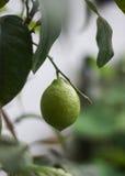 Όμορφο πράσινο δέντρο λεμονιών στοκ εικόνα