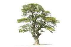 Όμορφο πράσινο δέντρο Στοκ Φωτογραφίες
