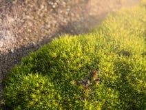 Όμορφο πράσινο βρύο Στοκ Φωτογραφίες