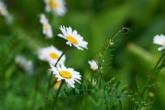 όμορφο πράσινο λευκό chamomiles στοκ εικόνα με δικαίωμα ελεύθερης χρήσης