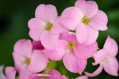 όμορφο πράσινο ροζ λουλουδιών Στοκ φωτογραφίες με δικαίωμα ελεύθερης χρήσης