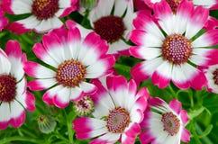 όμορφο πράσινο ροζ λουλουδιών Στοκ Φωτογραφίες