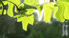 Όμορφο πράσινο φύλλο στον κλάδο ενός δέντρου με τον ήλιο που, HD 1080 φιλμ μικρού μήκους
