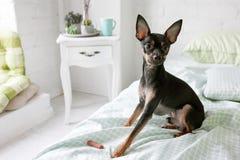 Όμορφο πρωί σκυλιών Τεριέ παιχνιδιών στο άσπρο δωμάτιο στοκ εικόνες