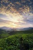 Όμορφο πρωί, τοπίο φυτειών τσαγιού πέρα από την ανατολή backgroun στοκ εικόνα