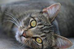 Όμορφο πρόσωπο γατών λωρίδων τιγρών Στοκ Εικόνες