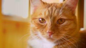 Όμορφο πρόσωπο κινηματογραφήσεων σε πρώτο πλάνο της γάτας πιπεροριζών στα sunlights, που βρίσκεται και που εξετάζει την ψύχρα καμ απόθεμα βίντεο
