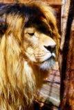 Όμορφο πρόσωπο λιονταριών, πορτρέτο σχεδιαγράμματος 50mm background blur effect fires night nikkor party side Στοκ φωτογραφία με δικαίωμα ελεύθερης χρήσης