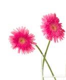 όμορφο ροζ δύο gerber στοκ φωτογραφία με δικαίωμα ελεύθερης χρήσης