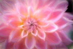 όμορφο ροζ λουλουδιών κινηματογραφήσεων σε πρώτο πλάνο Στοκ Εικόνες