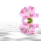 όμορφο ροζ λουλουδιών Στοκ Φωτογραφίες