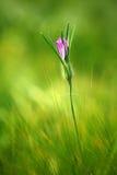 όμορφο ροζ λουλουδιών &omi Στοκ Φωτογραφία