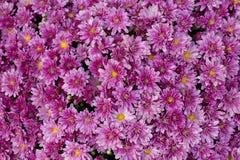 όμορφο ροζ λουλουδιών άνθισης Στοκ φωτογραφία με δικαίωμα ελεύθερης χρήσης