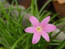 όμορφο ροζ λουλουδιών άνθισης Στοκ Φωτογραφίες