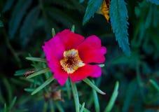όμορφο ροζ λουλουδιών Κάνθαρος που σέρνεται σε ένα πράσινο φύλλο αφηρημένη ανασκόπηση Διάστημα στο υπόβαθρο για το αντίγραφο, κεί Στοκ Φωτογραφίες