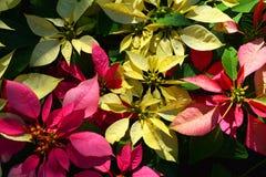 Όμορφο ροζ λουλουδιών, κίτρινο Στοκ φωτογραφίες με δικαίωμα ελεύθερης χρήσης