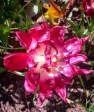 όμορφο ροζ λουλουδιών κινηματογραφήσεων σε πρώτο πλάνο στοκ φωτογραφίες με δικαίωμα ελεύθερης χρήσης