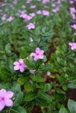 όμορφο ροζ λουλουδιών στοκ φωτογραφίες με δικαίωμα ελεύθερης χρήσης