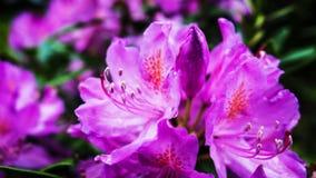 όμορφο ροζ λουλουδιών Στοκ Εικόνες