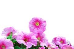 όμορφο ροζ πετουνιών Στοκ Εικόνα