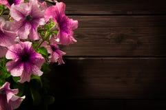 όμορφο ροζ πετουνιών Στοκ φωτογραφίες με δικαίωμα ελεύθερης χρήσης