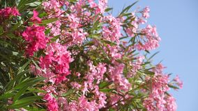 Όμορφο ροζ που ανθίζει oleander μια ηλιόλουστη ημέρα απόθεμα βίντεο