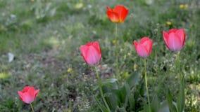 Όμορφο ροζ τουλιπών θερινών λουλουδιών απόθεμα βίντεο
