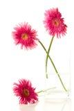 όμορφο ροζ τρία gerber στοκ φωτογραφία