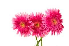 όμορφο ροζ τρία gerber στοκ εικόνες