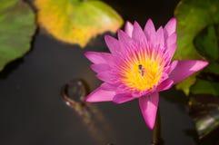 Όμορφο ροζ λωτού λουλουδιών Στοκ εικόνα με δικαίωμα ελεύθερης χρήσης