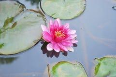 όμορφο ροζ λωτού Στοκ Φωτογραφία