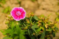Όμορφο ροζ (Dianthus chinensis) Στοκ Φωτογραφίες