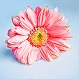 όμορφο ροζ gerbera Στοκ Εικόνα
