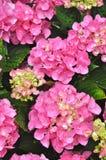 όμορφο ροζ hydrangea θάμνων Στοκ Φωτογραφία