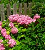 όμορφο ροζ hydrangea θάμνων Στοκ Φωτογραφίες