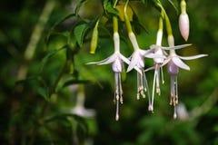 Όμορφο ρόδινο άσπρο φούξια λουλούδι Στοκ Εικόνες