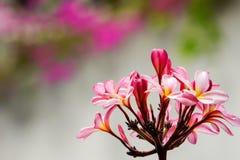 όμορφο ρόδινο δέντρο plumeria Στοκ Φωτογραφίες