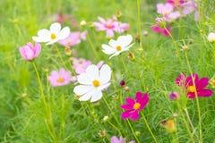 Όμορφο ρόδινο και άσπρο λουλούδι κόσμου που ανθίζει στο υπόβαθρο κήπων στοκ εικόνα με δικαίωμα ελεύθερης χρήσης