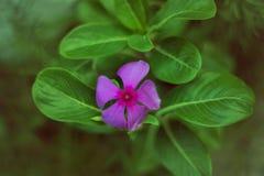 Όμορφο ρόδινο λουλούδι που κρύβεται στα πράσινα πέταλα Στοκ φωτογραφία με δικαίωμα ελεύθερης χρήσης