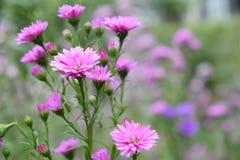 Όμορφο ρόδινο λουλούδι στο υπόβαθρο τρόπου κήπων bokeh Στοκ φωτογραφία με δικαίωμα ελεύθερης χρήσης