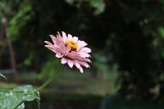 Όμορφο ρόδινο φυσικό λουλούδι από τον κήπο Στοκ Φωτογραφίες