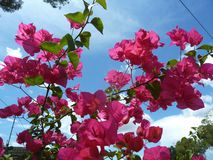 Όμορφο ρόδινο bougainvillea στοκ φωτογραφία με δικαίωμα ελεύθερης χρήσης