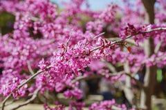Όμορφο ρόδινο άνθος δέντρων κερασιών στον κήπο Descanso Στοκ Φωτογραφία
